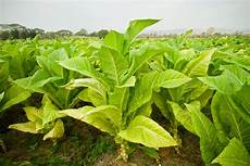 tabak selber anbauen tabak heimhelden