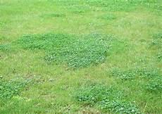 ronneburr 2009 07 klee im rasen durch trockenheit