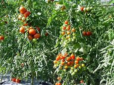 ist tomate eine frucht meine tomatenwelt freude am garten