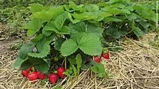 erdbeeren f 252 r ungeduldige schweizer garten