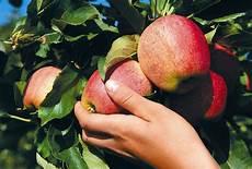 wann sind äpfel reif wann sind 196 pfel reif haus garten rhein neckar zeitung