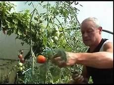 effeuillage des pieds de tomates