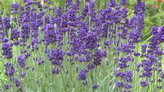 lavendel stecklinge lavendula vermehren