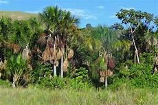 arbol emblematico de monagas palma moriche moriche palm mauritia flexuosa la palma flickr