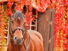 sch 246 ne braune sportliche pferd herbst portrait