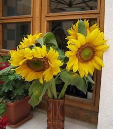 bouquet de tournesol cultiver des tournesols culture semis et entretien des