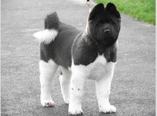 American Akita puppy at 12 weeks   Akita puppies, Akita