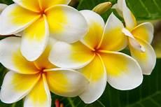 fiore frangipane frangipane fiore impariamo a coltivare la plumeria