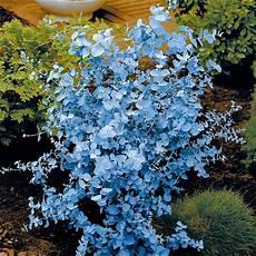 eukalyptus winterhart kaufen eucalyptus busch kaufen bei ahrens sieberz