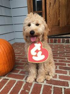 semi short haircut on a goldendoodle goldendoodles collection of goldendoodle haircut goldendoodle haircut pictures semi short haircut on a