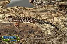 argentine tegu care sheet reptiles by mack