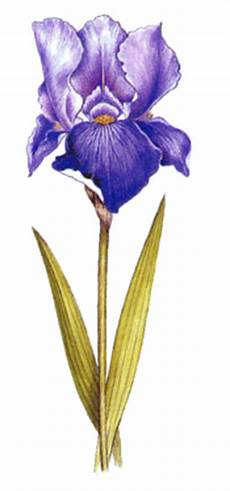 iris fiore immagini fiore di iris fare di una mosca