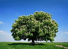 marronnier d inde arbre arbre persistant arbre de