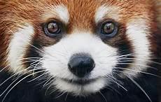 les animaux en voie de disparition portraits des animaux en voie d extinction par tim flach