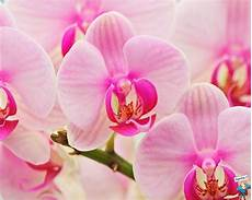 immagini fiori orchidee beneveni fiori curiosando