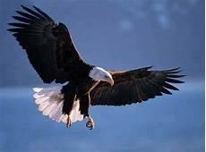Gambar Foto Hewan Foto Burung Rajawali Terbang