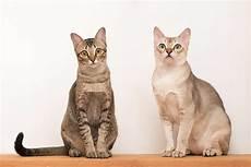 cat breed singapura cat