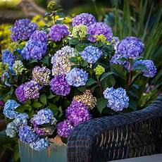 bloomstruck 174 hydrangeas for sale the tree center