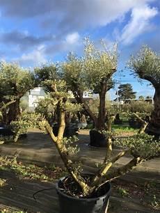olivier nuage pas cher olivier centenaire 224 vendre tous les oliviers