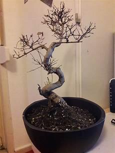 Vertrocknete Pflanzen Retten - kann ich einen alten vertrockneten bonseibaum retten