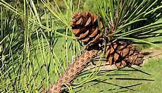 Pengertian Ciri Klasifikasi Dan Contoh Tumbuhan Berbiji