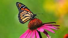 Schmetterlinge Anlocken Auf Diese Blumen Fliegen Falter Ab