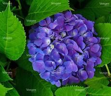tailler les hortensias photos autres la taille hivernale des hortensias