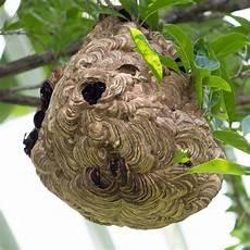 comment trouver un nid de frelon comment reconna 238 tre un frelon asiatique 3 233 l 233 ments 224