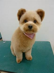 37 best dog grooming cute teddy heads images pinterest puppys doggies and dog grooming
