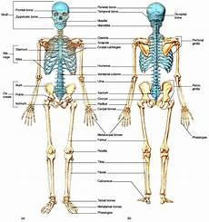 Jumlah Tulang Dan Sendi Manusia Komunitas Pecinta