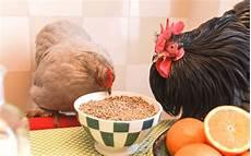 nourriture poules pondeuses 201 lever ses poules dans jardin t 233 l 233 chargez le guide