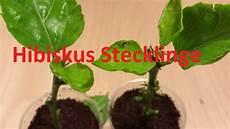 hibiskus und andere pflanzen durch stecklinge vermehren