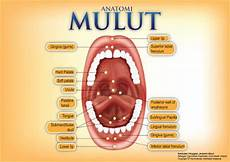 Susunan Anatomi Gigi Dan Mulut Manusia Beserta Fungsi
