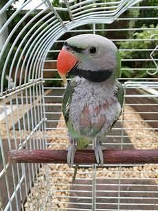 pappagallo in gabbia immagini di riserva di pappagallo verde con il becco rosso
