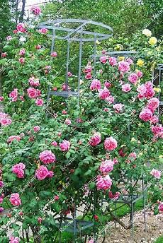 roseraie ducher rosier grimpant souvenir de george