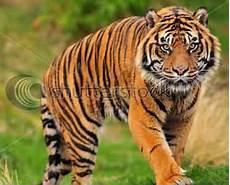 Mengenal Species Kucing Nusantara Cakrawala