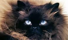 himalayan cats himalayan cat breed information