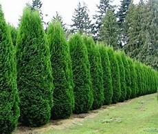 thuja hecke pflanzen evergreen archives affordable trees
