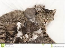 Malvorlage Katze Mit Jungen Katze Schl 228 Ft Mit Ihren Jungen Stockbild Bild Tier