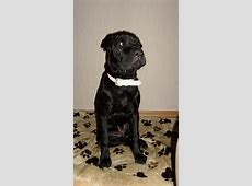 Lilou (Staffordshire Terrier, Shar Pei) ? MeinMischling.de