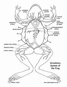frog anatomy diagram labeled frog circulatory system diagram and labeling