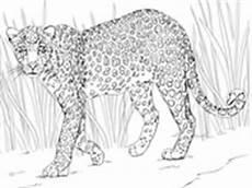 Ausmalbilder Erwachsene Leopard Ausmalbilder Leoparden Malvorlagen Kostenlos Zum Ausdrucken