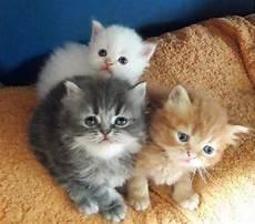 gatti persiani regalo persiani pelo lungo animali giugno clasf