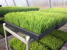 how to grow wheatgrass at home growing wheat growing