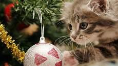 amaryllis giftig für katzen gift f 252 r katzen weihnachtsstern amaryllis co revvet de