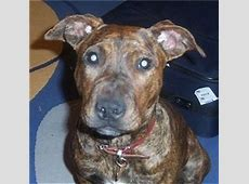 American Staffordshire Terrier Dog Breed Pictures, 2