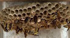 wespen im mauerwerk wespennest unter dem dach umsiedlung und entfernung