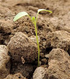 semer le persil quand et comment semer du persil r 233 ussir semis de