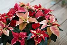 Wie Kann Den Weihnachtsstern Richtig Pflegen Und