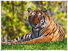 Harimau Nama Gambar Binatang A Z